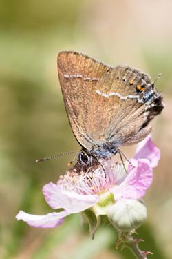 2015-07-05 Borboleta (Satyrium spini) SE (6)