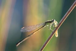 2017-07-15 Libelinha (Ischnura graellsii