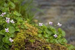 Viola palustris subsp. palustris