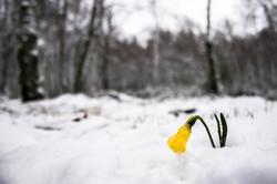2016-01-12 Narciso na neve SE (8)
