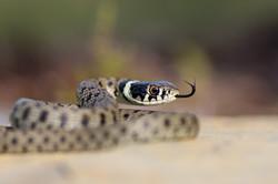 Cobra de água de colar