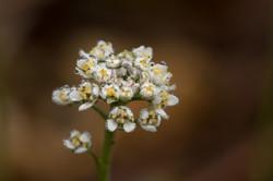 2017-03-28 Flor (Teesdalia nudicaulis) SFerro (1)