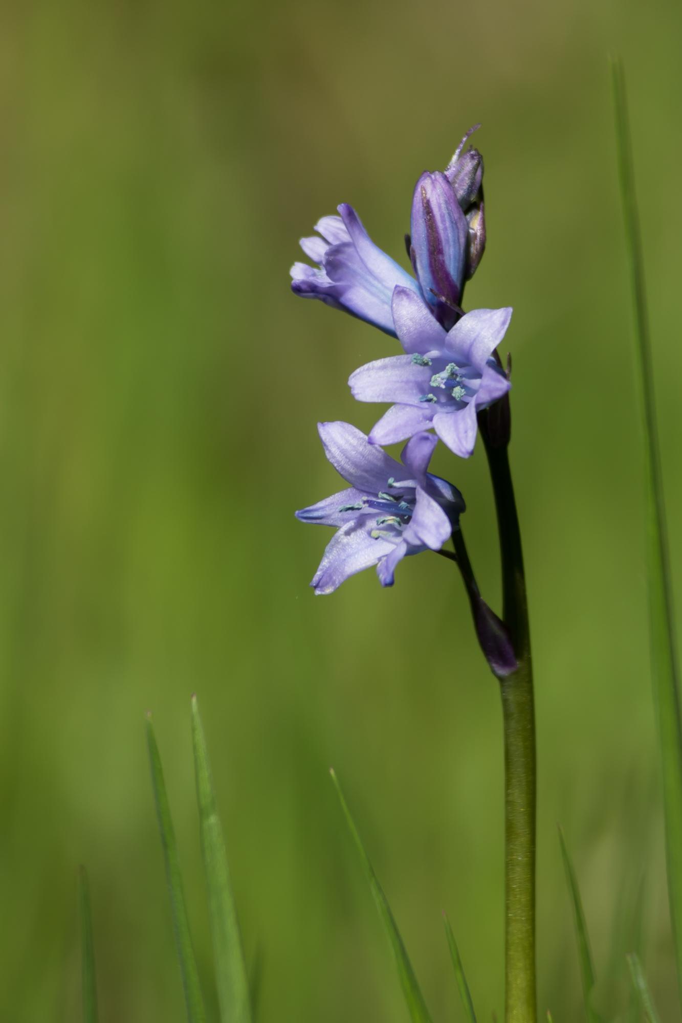 2015-05-09 Jacinto dos campos (Hyacinthoides hispanica) SE (1)