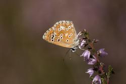 2015-07-26 Borboleta (Aricia Cramera) SE (1)
