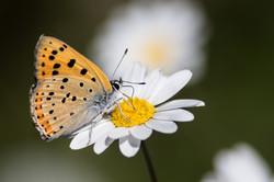 2015-05-17 Borboleta (Lycaena alciphron) (1)