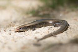 Cobra de pernas pentadáctila