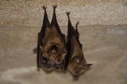 Morcego-Grande-de-Ferradura