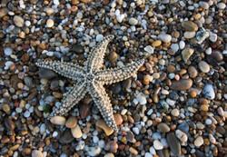 Estrela do Mar de Espinhos