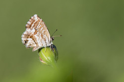 Cacyreus marshalli