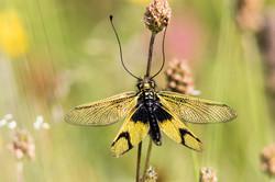 2016-06-25 Libelloides longicornis SE (8)