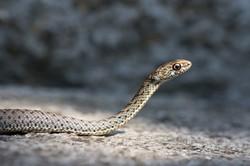 Cobra-rateira juvenil