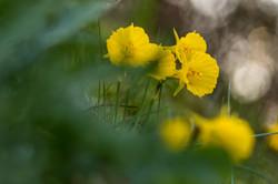 Campaínhas Amarelas
