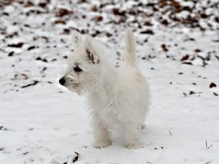 Westie dans la neige