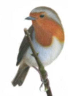 robin by Ayse Rifat Wildlife Arist