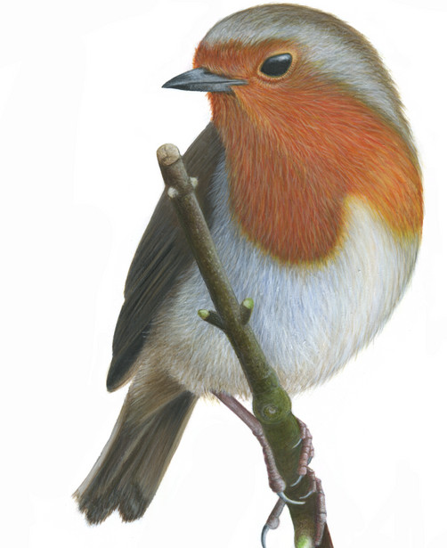 Robin by Ayse Rifat Wildlife Artist