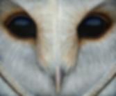 Twilight Hunter - Barn Owl by Ayse RIfat