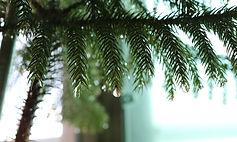 pine-2693466_1920.jpg