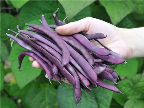 Purple Podded Pole Beans