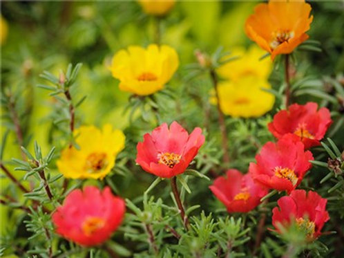 Moss Rose Portulaca