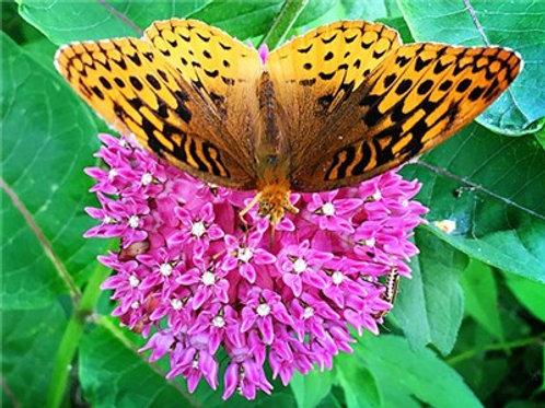 Red Swamp Milkweed - Butterfly Weed