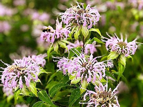 Wild Bergamot Bee Balm