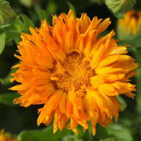 Orange Porcupine Calendula