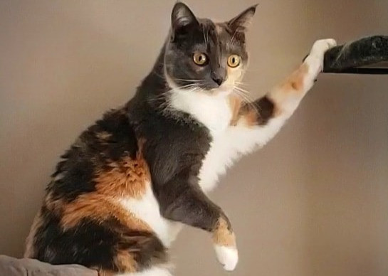 Show us your calico cats!
