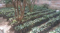 coffee nursery