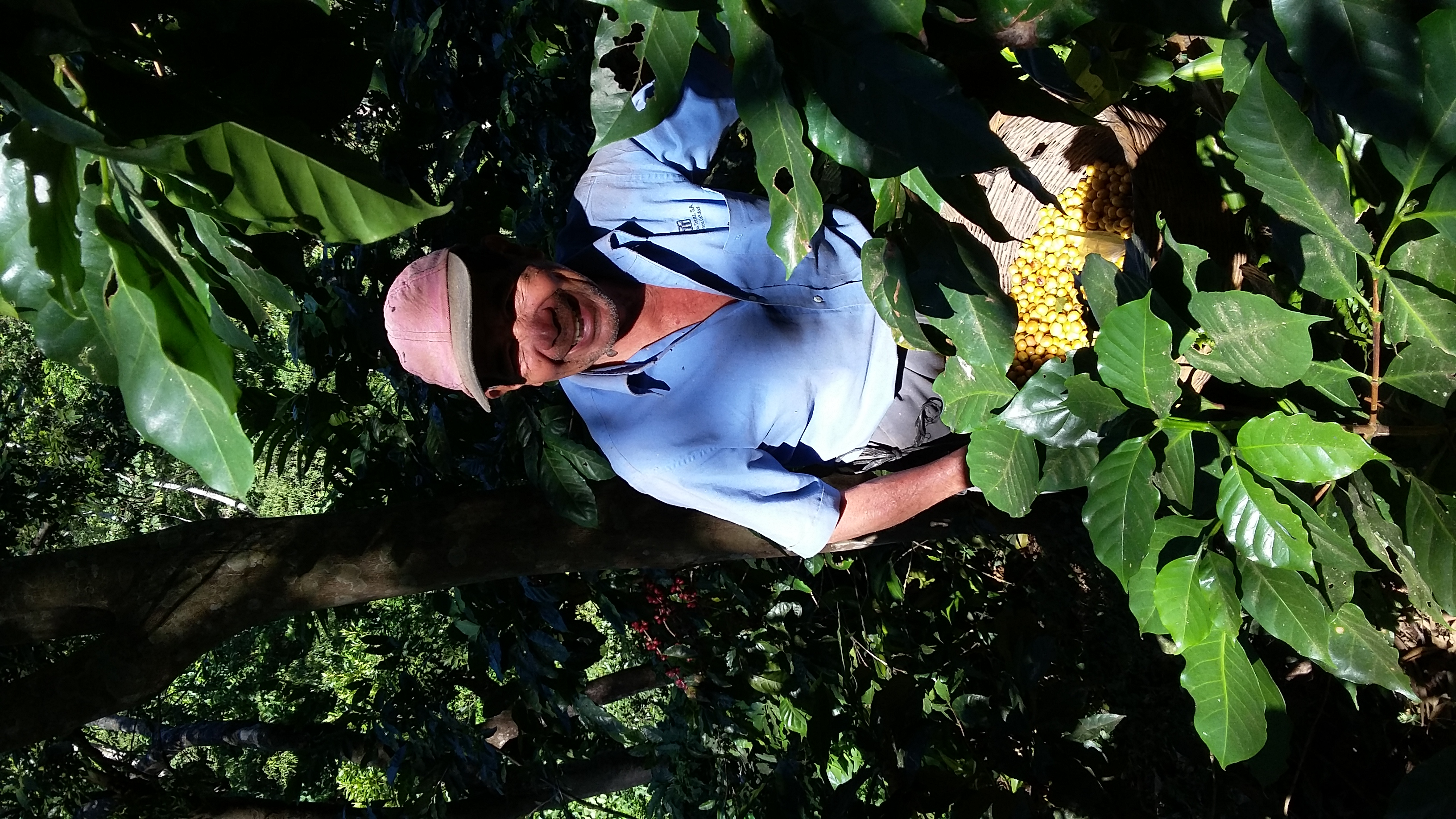 pisca (coffee picking)