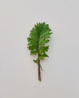kale rouge russe.jpg