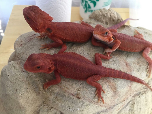 red bearded dragons or sale