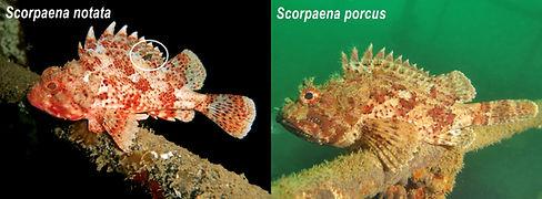 Scorpaenas LQ.jpeg