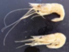 P. macrodactylus.jpg