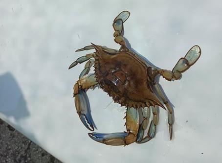 Presença do caranguejo azul confirmada no Rio Mira