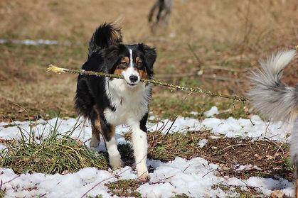 Cucciolate australian shepherd