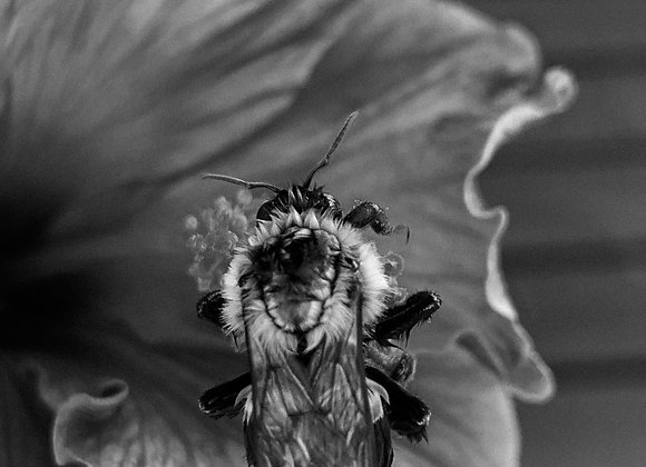 Working Bee (Black & White)