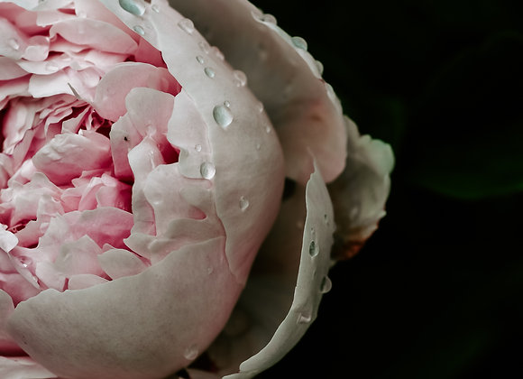 Peonies from the Garden IV (series)