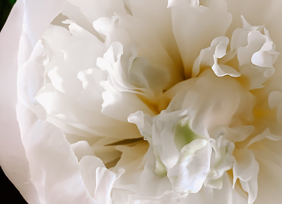 White Petals (series)