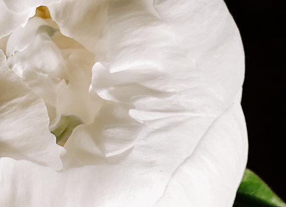 White Petals II (series)