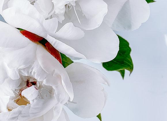 White Whisper Peony III (series)