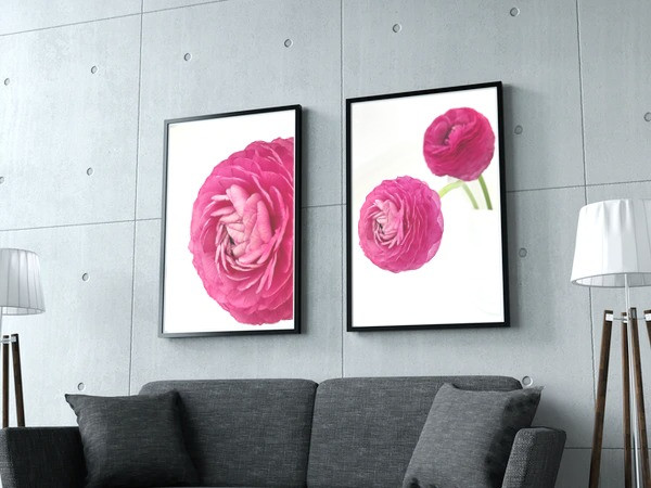 Pink Ranunculus Series