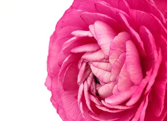 Pink Ranunculus (series)