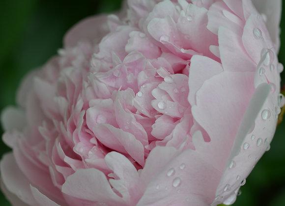 Pink Peony Water Drops (series)