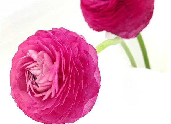 Pink Ranunculus II (series)