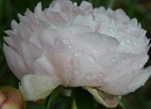 Pink Peony Water Drops II (series)