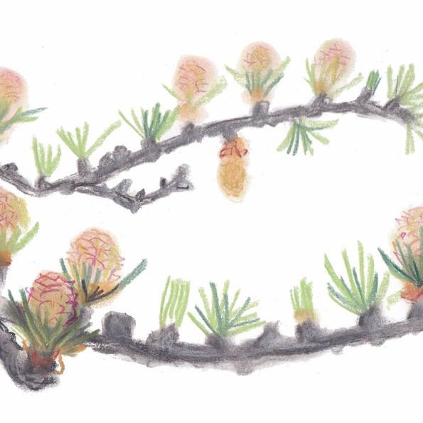 仲川希良さんのエッセイ「カラマツの花」の挿絵