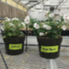 One of these pots was treated with Myko