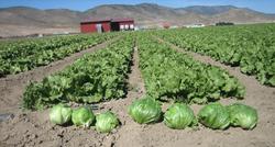 Mykos Liquid Lettuce Trials