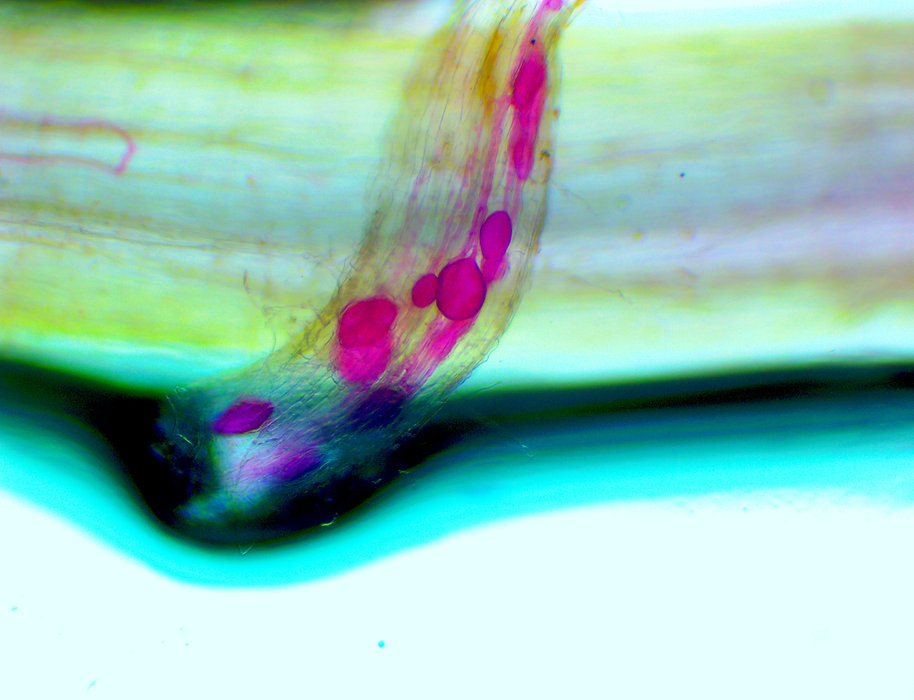 Mykos Mycorrhizae Root Stain. jpg