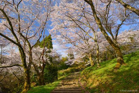 Ojigaoka Cherry Blossoms